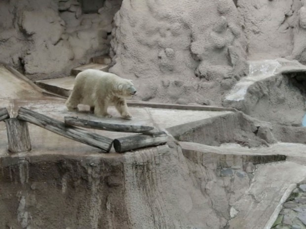 Saúde de último urso polar da Argentina preocupa diretora de zoo