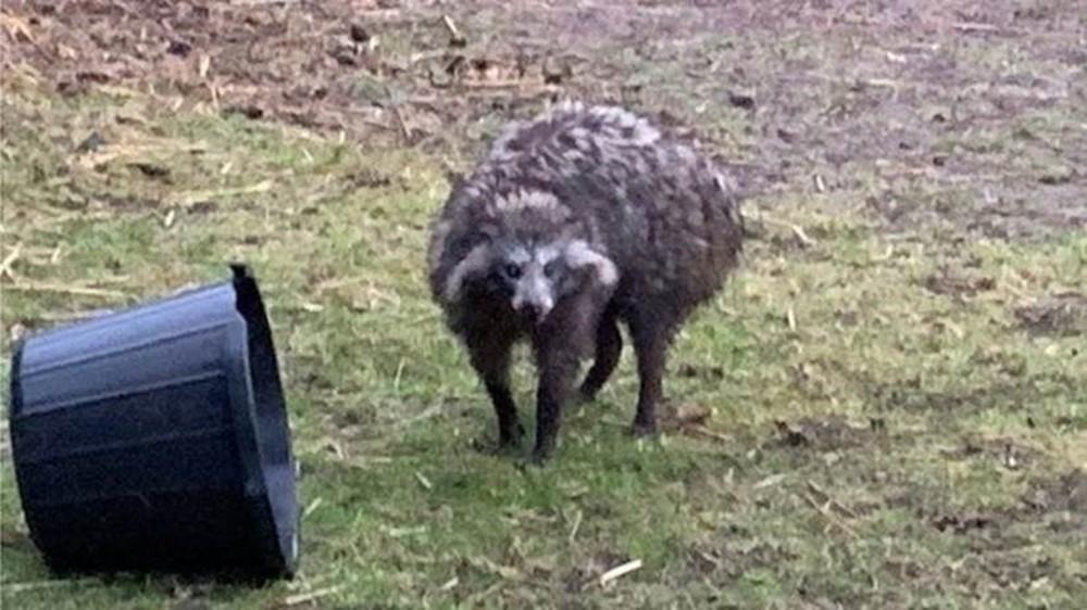 Os cães-guaxinins que assustam uma comunidade no norte da Inglaterra