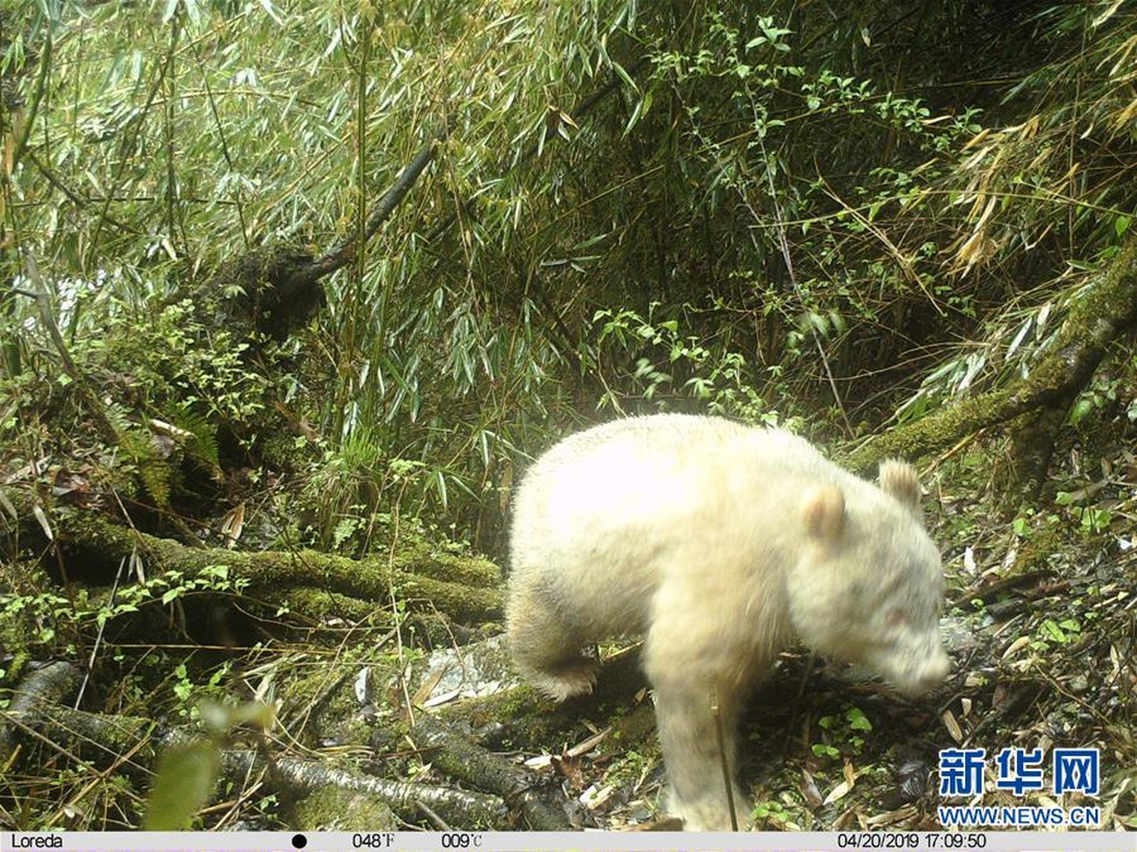 Panda albino é visto em reserva natural na China